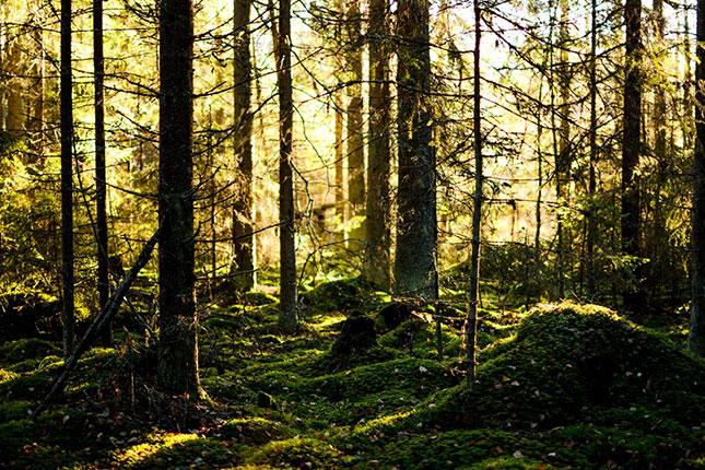 Kanske vi kan få igång en lukrativ export av knowhow i skogsfrågor?